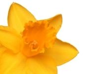 welsh directory daffodil